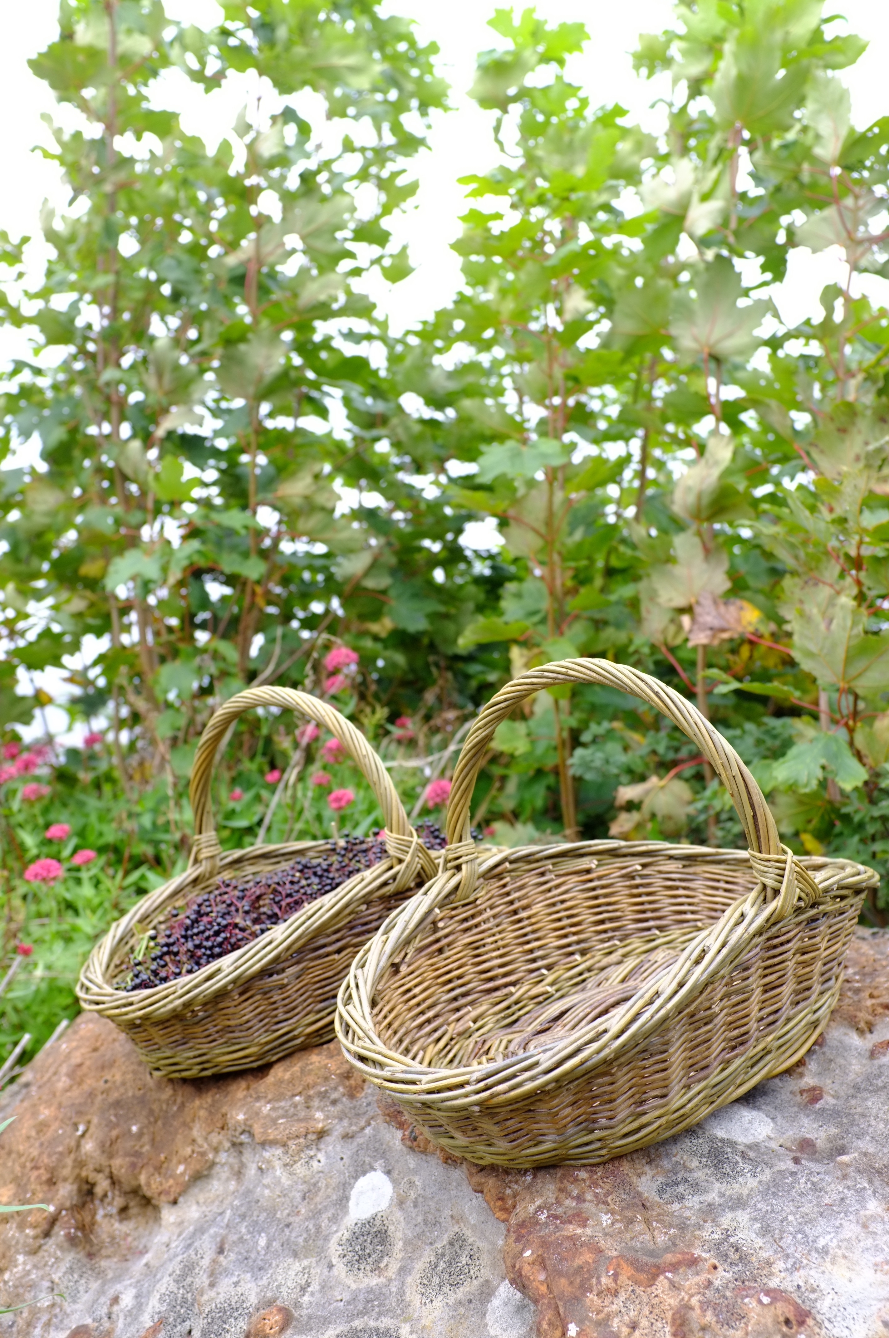 Harvest Baskets using Organically Grown Willows